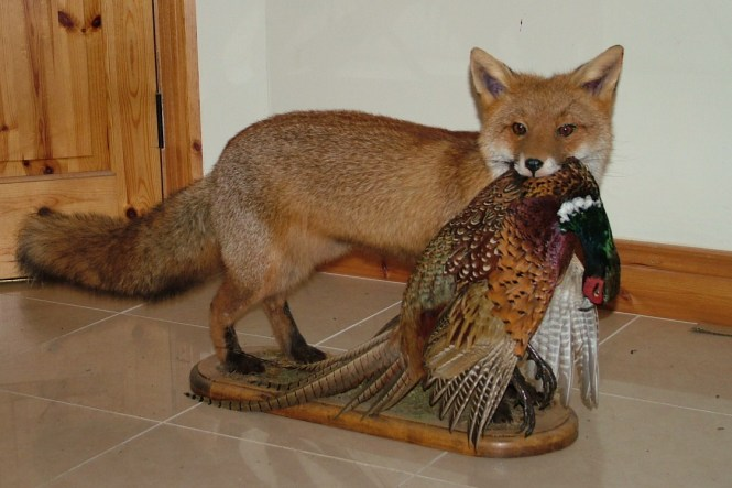 fox-and-pheasant-001