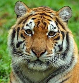 tiger-face-4